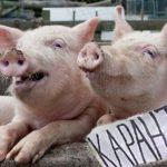 Увага! Карантин! У Кременчуцькому районі – африканська чума свиней