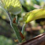 Весняне формування винограду