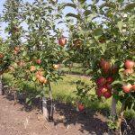 Висаджування плодових дерев: секрети агротехніки