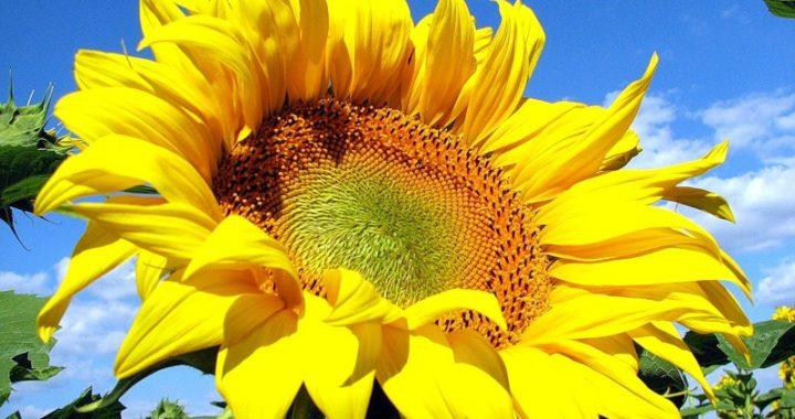 Сонце, Сонечко та Соняшник