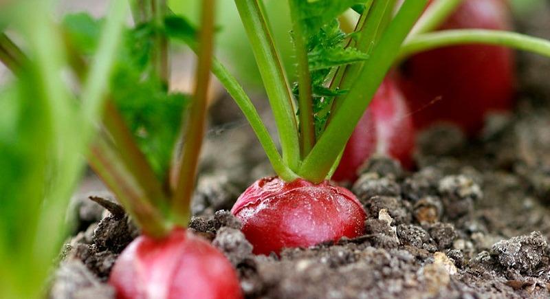 Другий урожай городини за сезон