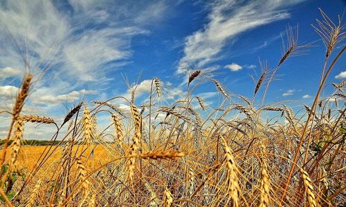 У полі вітер віє, а колос половіє…