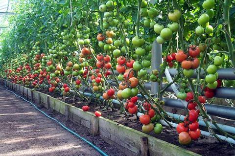 Тепличні томати: як доглядати в липні
