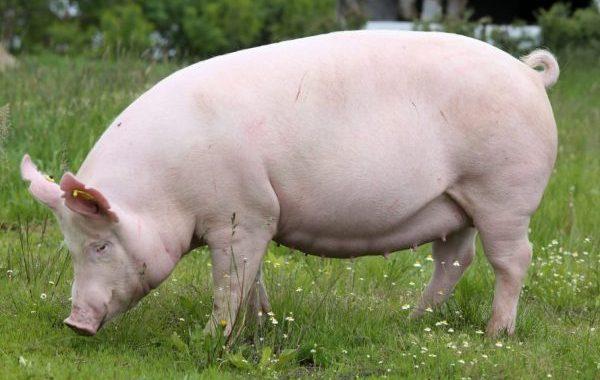 Відбір та вирощування свиноматки