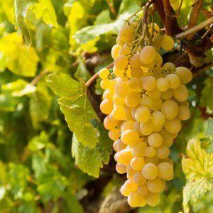 Літні клопоти у винограднику