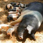 Догляд за свиноматками у період годівлі молодняку