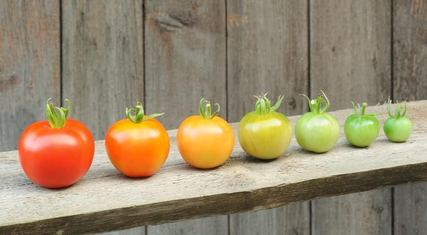 Дозарювання помідорів