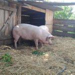 """Облаштовуємо """"будиночок"""" для свиней"""