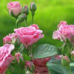 Троянди у вересні