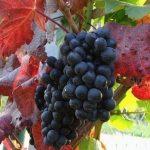 Виноградник у жовтні Поливаємо, підживлюємо, лікуємо, обрізаємо