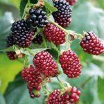 Ожиномалина,  ягода Логана…