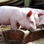"""""""Пісне"""" м'ясо – нова тенденція в свинарстві"""
