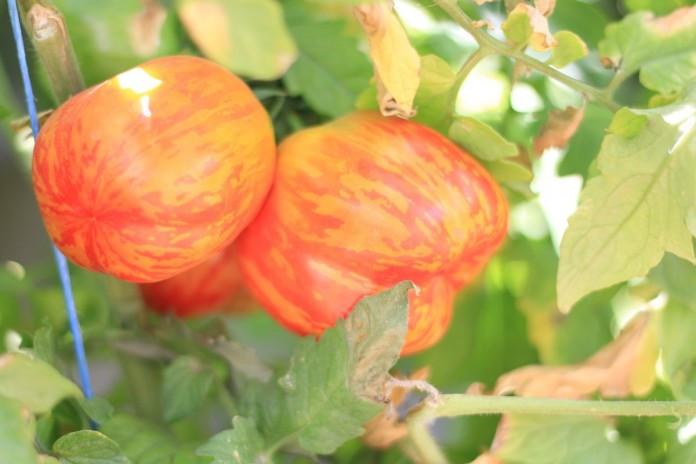 """Поцілунок герані й інші томатні """"екзоти"""""""