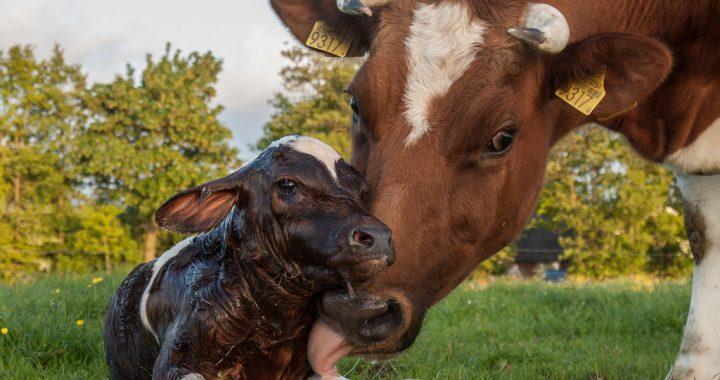 Отелення корів і догляд за новонародженими телятами