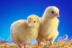 Годівля та профілактика захворювань молодняку птиці