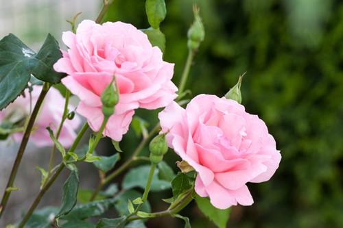 Біологічні методи боротьби зі шкідниками та хворобами троянд
