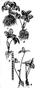 Секрети літнього садіння суниці