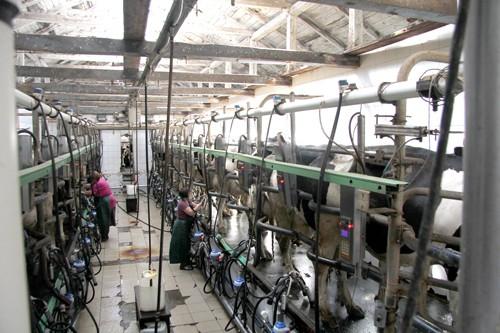 """Молоко у корови на язиці, або Як у сільгосппідприємстві """"ПРОМІНЬ-ПРИВАТ"""" доповнили і збагатили народну мудрість"""
