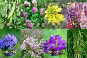 Повторні посіви – свіжа зелень до столу та найдешевше добриво для городньої ділянки