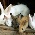 Не прорахуйтесь  із часом забою кролика