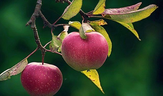 Імунні сорти  яблунь варті уваги