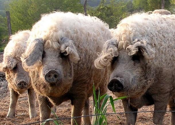 Волохаті свині пасуться як вівці, гарно ростуть і не бояться морозів