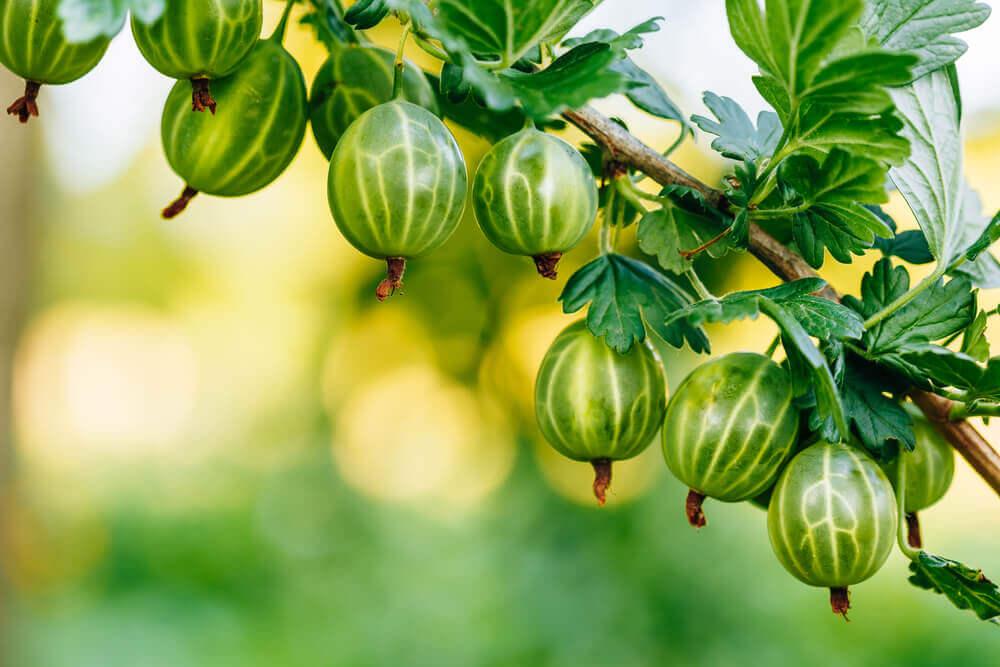 Аґрус – колючий, та ягода його лагідна