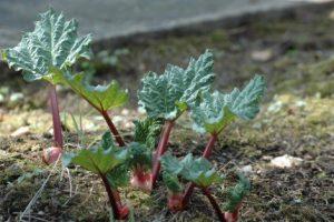 Ревінь з власного саду – ранньовесняна комора вітамінів