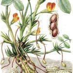 Вирощувати арахіс складно, витратно, але перспективно