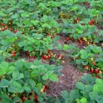 Ремонтантна полуниця плодоносить майже півроку
