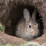 «Дідівський» метод розведення кроликів: екологічно та дешево