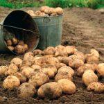 «Найсвіжіші» сорти української картоплі