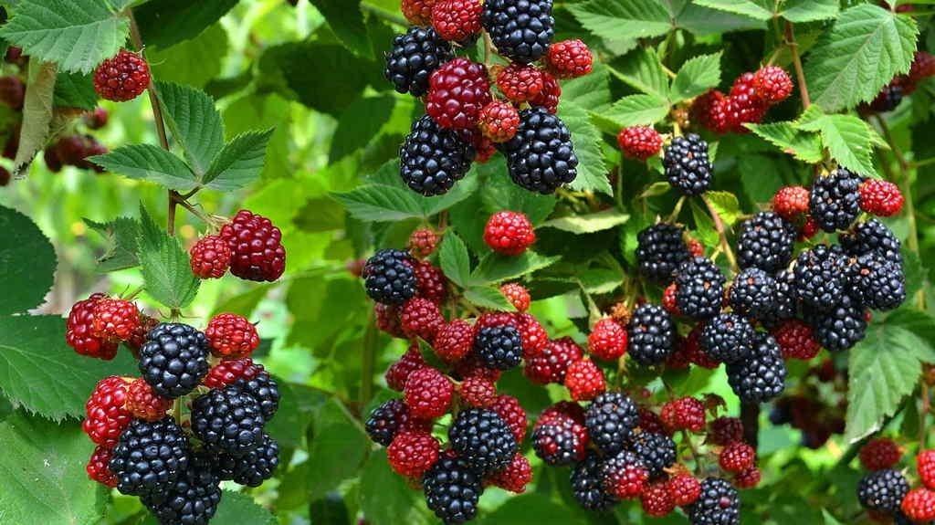 Ожині є чим здивувати: переваги її вирощування, цілющі властивості та перспективні сорти