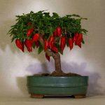 Перцевий бонсай – новий тренд садівництва