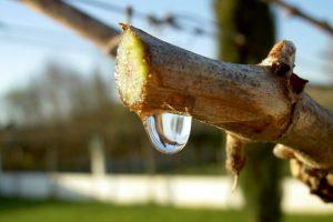 Цілющий сік виноградної лози