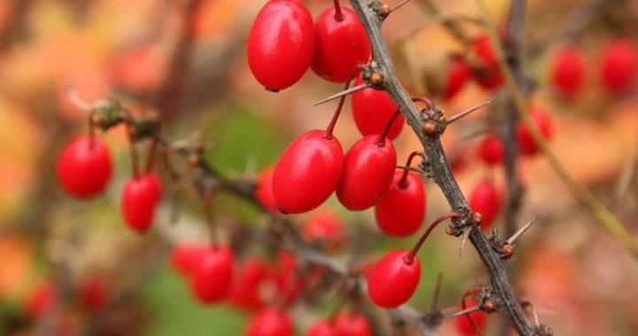 Барбарис – плодова та декоративна рослина