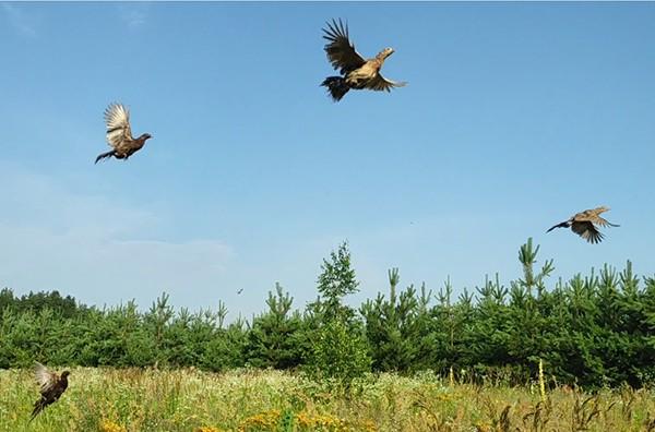 Триста голів «царської птиці» заселили в козельщинські ліси й степи