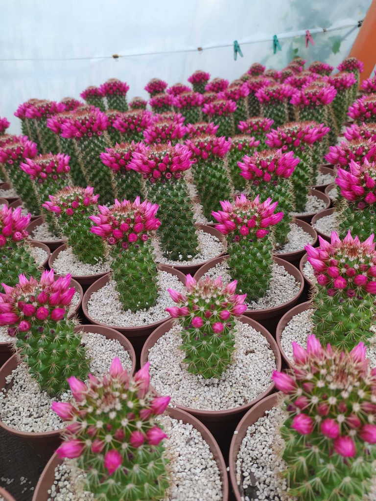 Мрію, щоб кактусові оранжереї стали туристичними магнітами Полтавщини