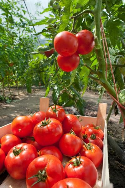 Формування кущів помідорів