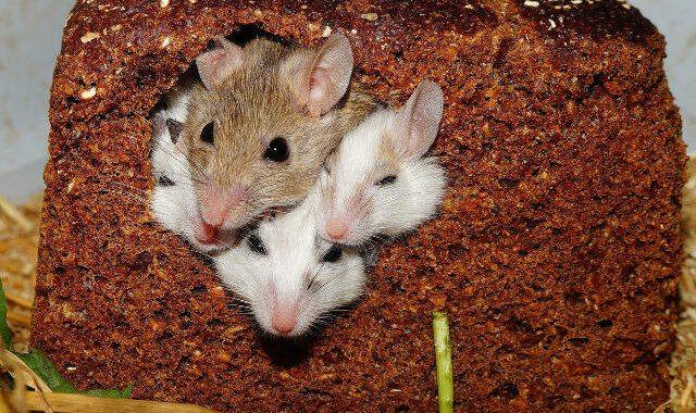 Як позбутися мишей  у помешканні