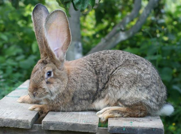 Профілактика і лікування інфекційних та інвазійних хвороб кролів