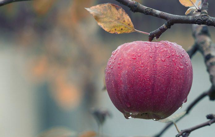 Готуємо яблуні до зимівлі